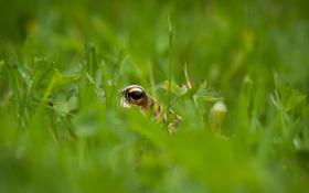 Обои трава, глаз, лягушка
