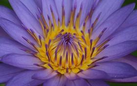 Обои цветок, макро, сиреневый, лилия, водяная