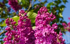 Обои лето, макро, цветы, природа, сирень