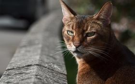 Обои глаза, кот, усы, котэ