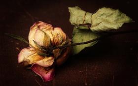 Картинка макро, цветок, роза