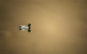 Обои природа, озеро, утка