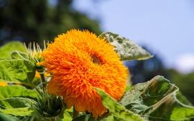 Обои цветок, подсолнух, цветение