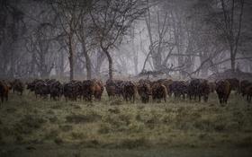 Обои дождь, Африка, стадо, буйволы