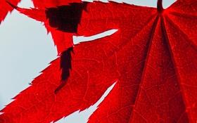 Обои багрянец, лист, природа, осень