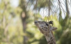 Обои язык, морда, ветки, голова, жираф, листочек