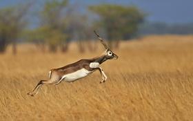 Обои Индия, Гуджарат, винторогая антилопа, Blackbuck national park, гарна, оленекозья антилопа