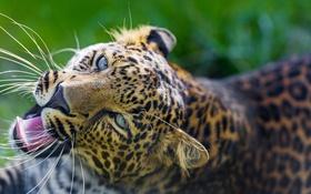 Обои взгляд, морда, хищник, пятна, леопард, большая кошка