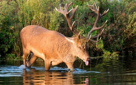 Обои осень, язык, заросли, олень, рога, водоем, гримаса