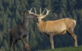 Обои природа, фон, олени
