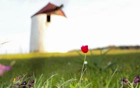 Обои красный, тюльпан, лепестки