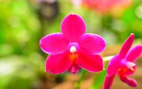 Обои лепестки, орхидея, макро