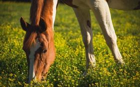 Картинка морда, конь, лошадь, пастбище, грива