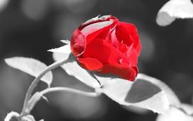 Картинка цветок, роза, цвет