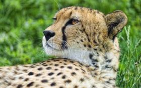 Обои кошка, морда, гепард, профиль, ©Tambako The Jaguar