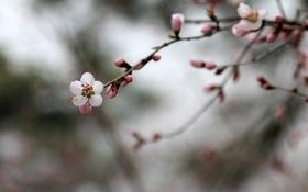 Картинка pink, flowers, china, plum flower