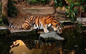 Обои кошка, вода, деревья, тигр, камни, зоопарк