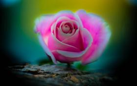 Обои бутон, макро, роза