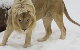 Обои лев, дикая кошка, морда, хищник, грива
