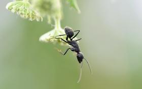 Картинка макро, природа, муравей