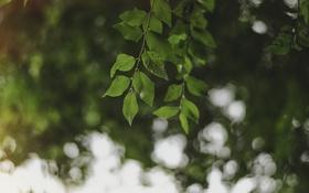 Обои листья, дерево, ветка, зеленые