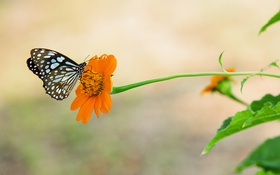 Обои цветок, бабочка, цинния