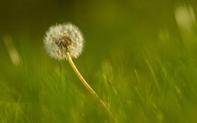 Обои трава, одуванчик, размытость