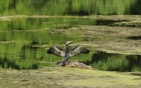 Обои пруд, взмах, птица, бревно, баклан, крылья, озеро