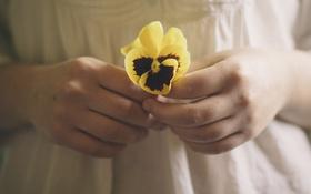Картинка анютины глазки, цветок, желтые, лепестки