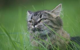 Обои кот, глаза, трава, лето