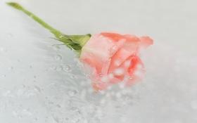 Картинка роза, цветок, вода