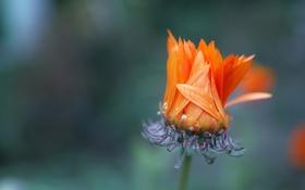 Обои цветок, фон, природа