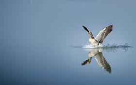 Обои озеро, отражение, крылья, зеркало, посадка, гусь