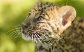 Обои мордочка, леопард, котёнок