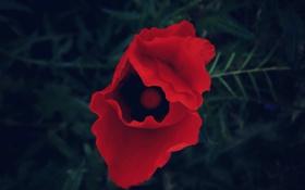 Обои красный, Цветок, flower, Amapola