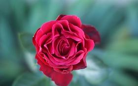 Картинка цветы, роза, бутон