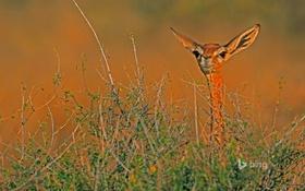 Картинка Африка, Кения, антилопа, геренук, Национальный заповедник Самбуру, жирафовая газель