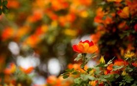 Картинка цветы, цветение, flowers, кустарник, shrubs, flowering, австрийская медная роза