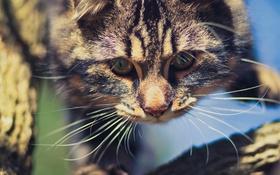 Обои котэ, котяра, кошак, взгляд, усы