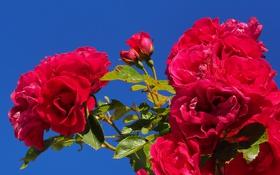 Обои небо, куст, розы, лепестки