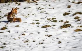 Обои зима, снег, природа, лиса