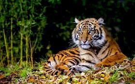 Обои лес, животные, трава, Тигр
