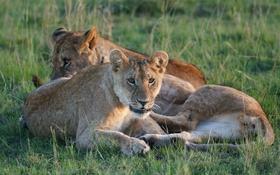 Обои кошки, отдых, трава, львы, троица