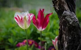 Обои цветы, дерево, тюльпан, лепестки, сад, ствол