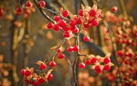 Обои природа, фон, макро, ягоды