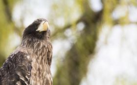 Обои птица, хищник, клюв, мощь, орёл, красавец