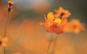 Картинка поле, цветок, природа, растение, лепестки, стебель, луг