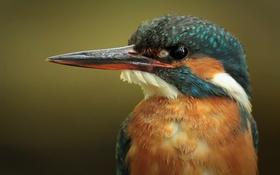 Обои обыкновенный зимородок, птица, alcedo atthis, kingfisher