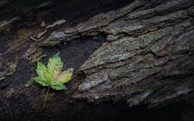 Обои природа, лист, дерево