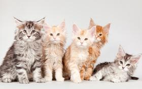 Обои котята, мейн-кун, квинтет